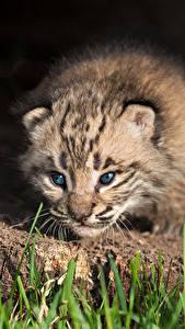 Fondos de Pantalla Grandes felinos Lynx Cachorros