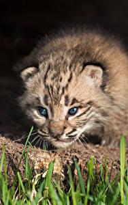 Bilder Große Katze Luchse Jungtiere