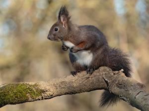 Fotos Nagetiere Eichhörnchen Bokeh Ast Tiere