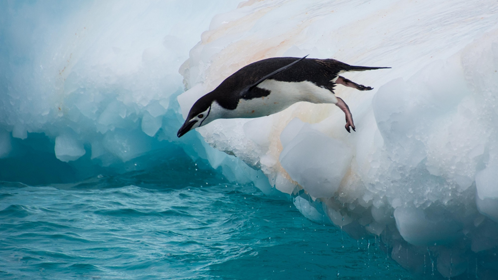 壁紙 1920x1080 ペンギン 水 Chinstrap Penguin 飛び 氷 動物
