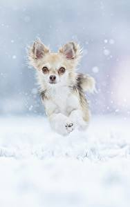 Hintergrundbilder Hund Winter Lauf Chihuahua Sprung Schnee ein Tier