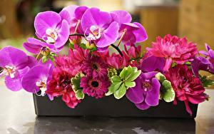 Bilder Gerbera Orchidee Dahlien Großansicht Blüte