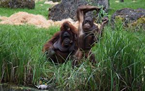 Hintergrundbilder Affen Jungtiere Drei 3 Gras