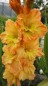 Fotos Gladiolen Hautnah Gelb Blüte