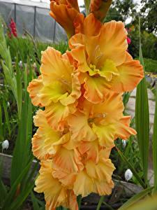 Fotos Schwertblume Großansicht Gelb Blumen