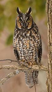 Hintergrundbilder Vogel Eule Ast Starren Long Eared Owl ein Tier