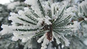 Hintergrundbilder Makrofotografie Großansicht Ast Schnee Fichten Natur