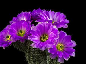Fotos Kakteen Großansicht Schwarzer Hintergrund Violett Blumen