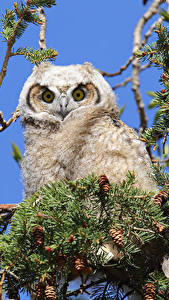 Photo Owls Branches Pine cone Animals