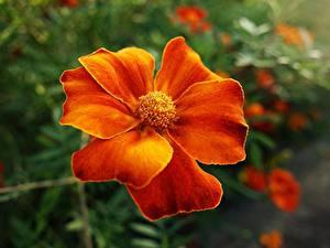 Fotos Sammetblume Großansicht Orange Blumen