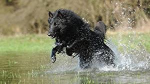 Fotos Hunde Shepherd Spritzer Sprung Schwarz Belgischer Schäferhund