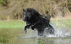 Fotos Hunde Shepherd Spritzwasser Sprung Schwarz Belgischer Schäferhund