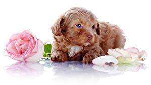 Bilder Hunde Rosen Weißer hintergrund Welpe Kronblatt Tiere Blumen