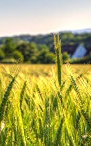 Fotos Weizen Acker Ähre Natur