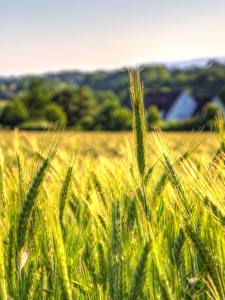 Fotos Weizen Acker Spitze Natur