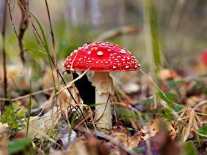 Fotos Großansicht Pilze Natur Wulstlinge