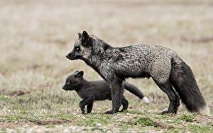 Bilder Füchse Jungtiere 2 Schwarz