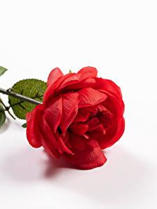 Fotos Rosen Nahaufnahme Weißer hintergrund Rot Blumen
