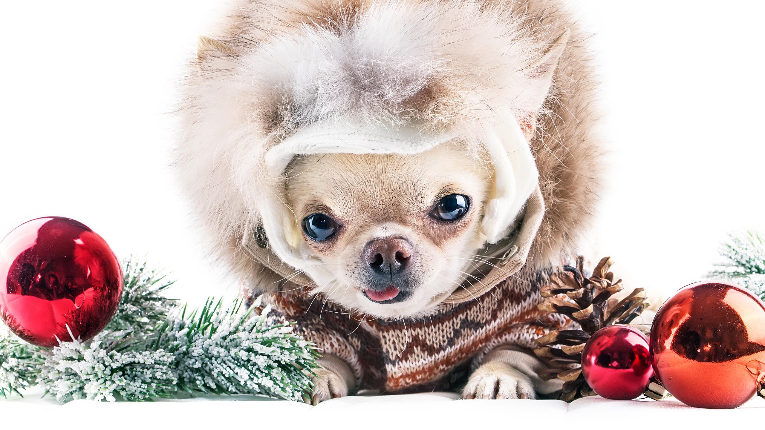 Fonds Decran 2560x1440 Nouvel An Chien Fond Blanc Chihuahua