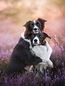 Fotos Hunde Lavendel 2 Border Collie Süßes Umarmt ein Tier