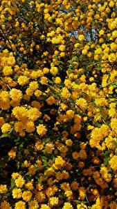 Fotos Blühende Bäume Viel Gelb Kerria Japonica Blüte