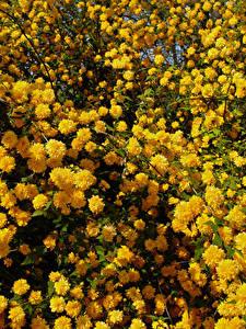 Fotos Blühende Bäume Viel Gelb Kerria Japonica Blumen