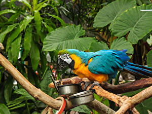Fotos Vögel Papageien Ast Tiere