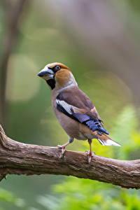 Fotos Vögel Ast Unscharfer Hintergrund hawfinch