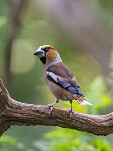 Fotos Vögel Ast Unscharfer Hintergrund hawfinch ein Tier