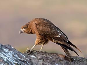 Bilder Vögel juvenile Mountain caracara Tiere