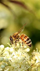 Bilder Bienen Nahaufnahme Insekten ein Tier