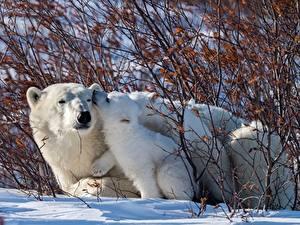 Bilder Bären Eisbär Jungtiere