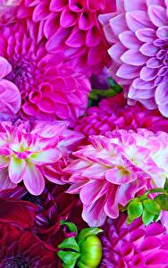 Hintergrundbilder Georginen Großansicht Violett Blumen