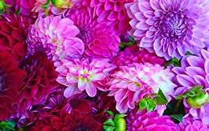 Hintergrundbilder Georginen Hautnah Violett Blumen