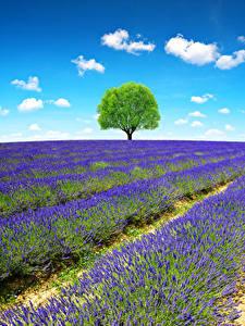 Bilder Frankreich Provence Acker Lavendel Bäume Natur