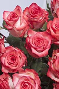 Bilder Rosen Großansicht Rosa Farbe Blüte
