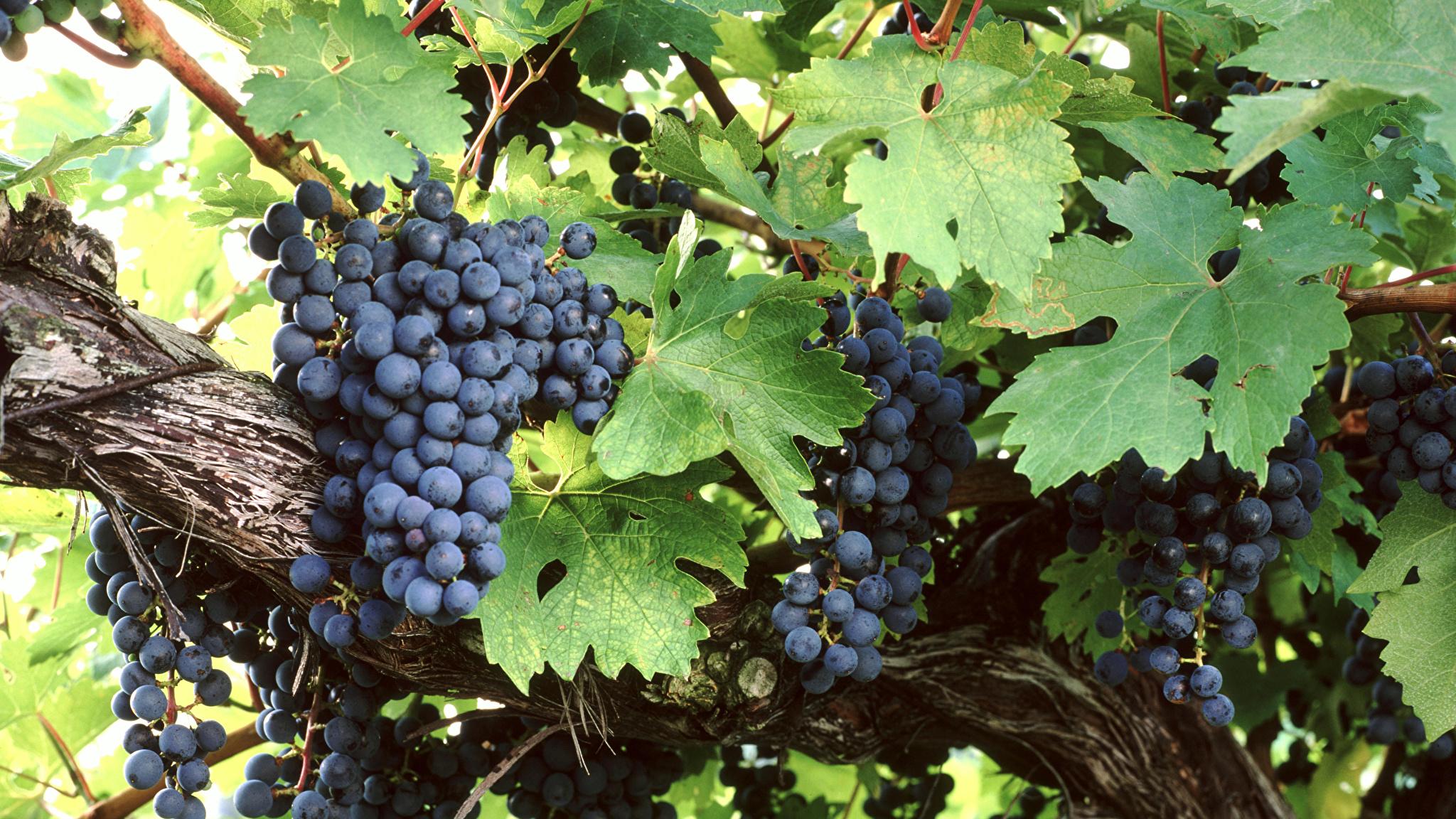 Bilder von Blatt Weintraube Ast Lebensmittel 2048x1152 Blattwerk