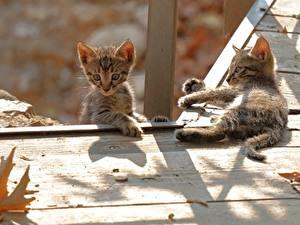 Fotos Katzen Kätzchen Zwei Bretter ein Tier