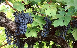 Fotos Weintraube Ast Blatt Lebensmittel