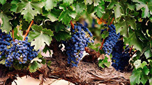 Fotos Weintraube Ast Blattwerk das Essen