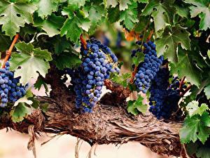 Fotos Weintraube Ast Blattwerk Lebensmittel