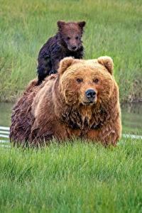 Hintergrundbilder Bären Braunbär Jungtiere Gras
