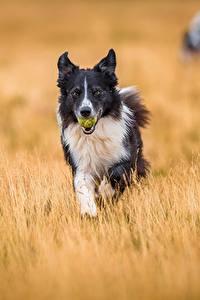 Hintergrundbilder Hund Acker Border Collie Tiere