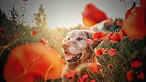 Fotos Golden Retriever Mohn Hunde Blumen