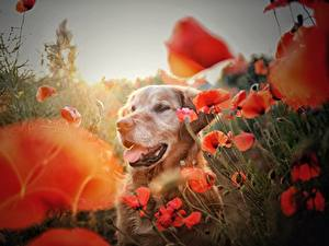 Fotos Golden Retriever Mohn Hunde ein Tier Blumen