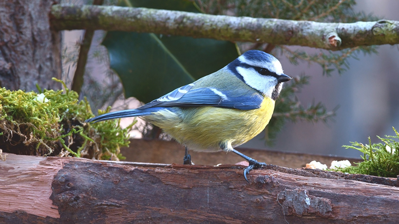 Bilder ein Tier Vögel parus Ast 1366x768 Tiere Meise meisen