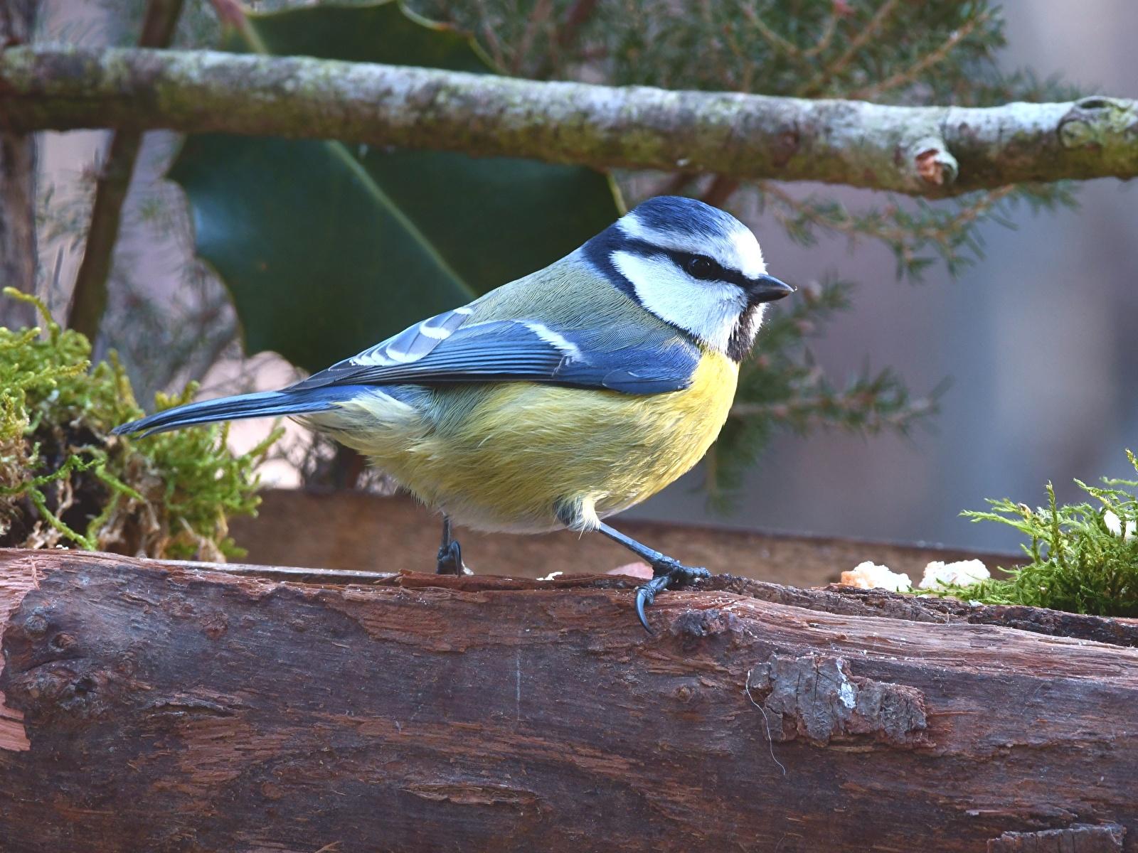 Bilder Tiere Vögel parus Ast 1600x1200 Meise meisen