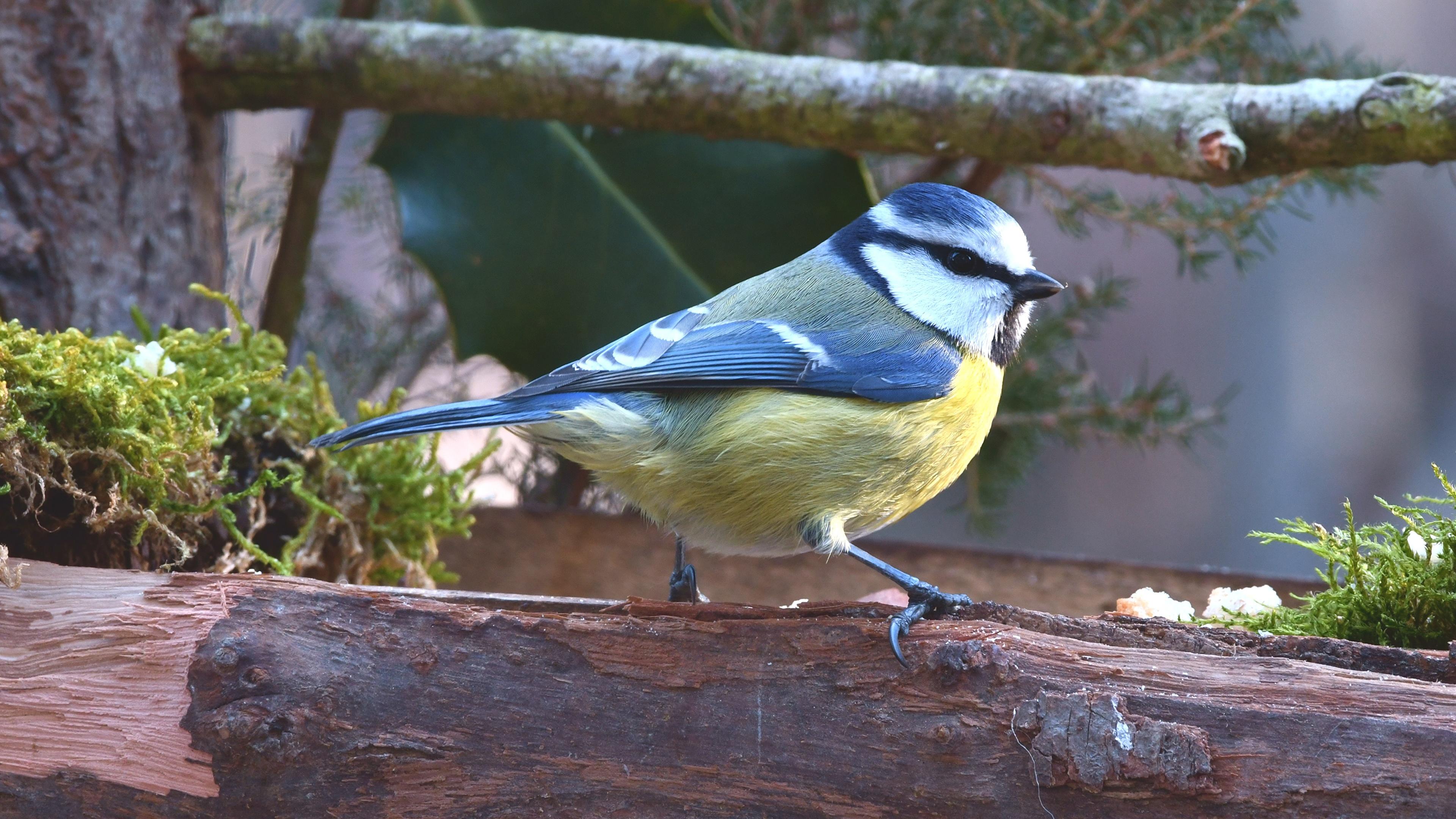 Bilder ein Tier Vögel parus Ast 3840x2160 Tiere Meise meisen