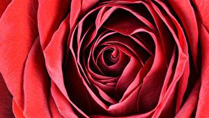 Bilder Nahaufnahme Makro Rosen Rot Blumen