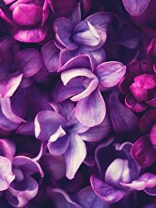 Hintergrundbilder Makrofotografie Nahaufnahme Flieder Violett Blumen